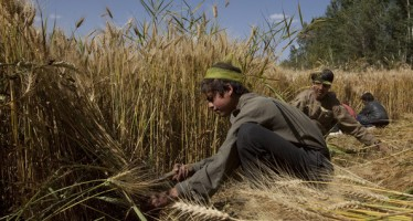 Samangan's wheat production 13 times higher than last year's