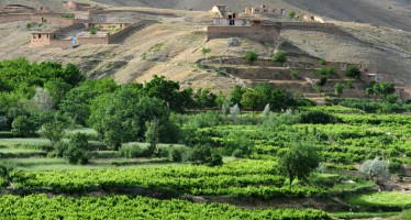 Kandahar exports up to 40,000 tons of grapes this year