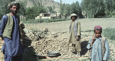 Bamyan potato production higher this year