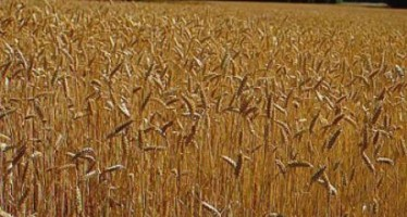 30% decline in Samangan wheat production