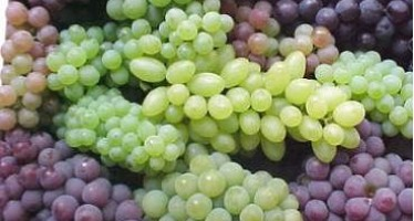 Grape harvest pleases Sar-e-Pul farmers but low prices disappoint them