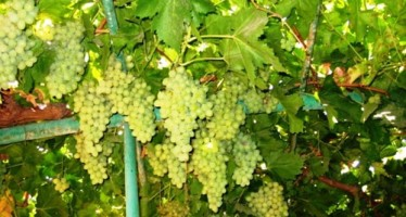 Grape production declines in Kandahar