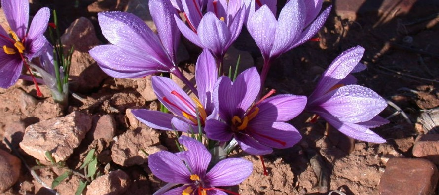 Saffron to become a countrywide crop in Afghanistan