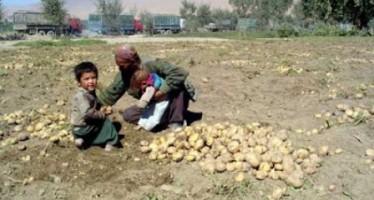Prices of Bamyan potatoes decline due to imports from Pakistan and Iran