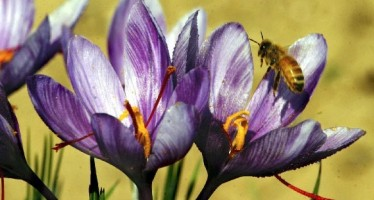 Ghazni farmers happy about their saffron yield