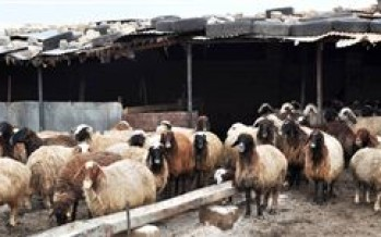 Snowfall causing problems to the livestock in Baghlan