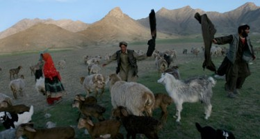 Hidden casualties of Afghan war: nomadic farmers adopt more settled life