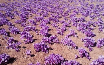 3,200 kg of saffron corms distributed to Afghan farmers in Daikundi province