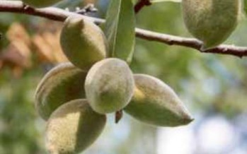 Uruzgan finds market for its almond production