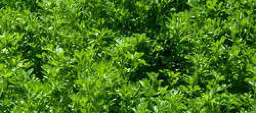 Demand for alfalfa grows in Bamiyan