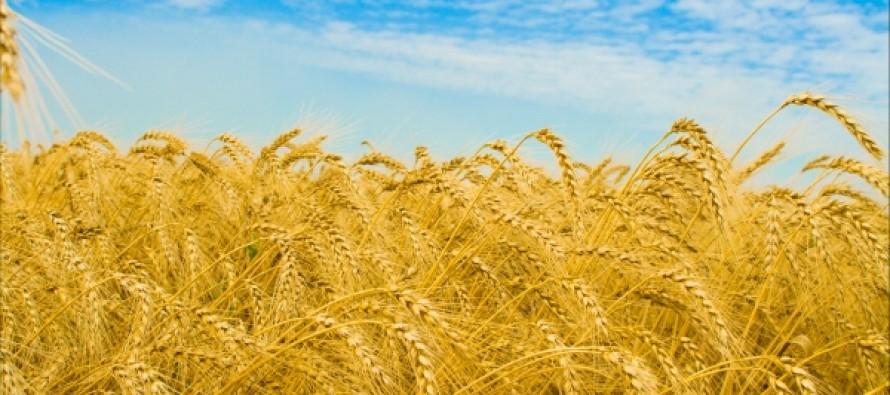 Distribution of improved seeds begins in Baghlan