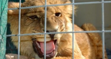 Afghan businessman keeps a USD 20,000 lion as a pet