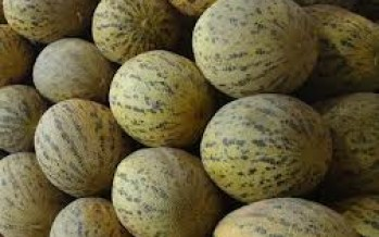 Kunduz sees a surge in melon production