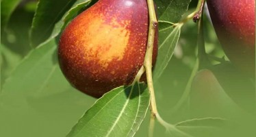 Farah witnesses a remarkable increase in jujube yield this year