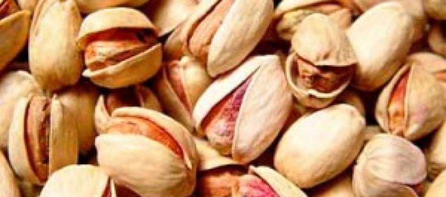 Improved pistachio seeds cultivated in Samangan province