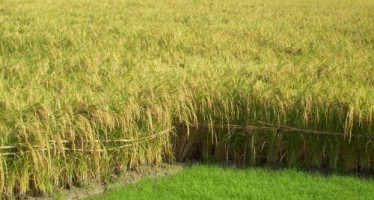 15% boost in rice yield in Takhar province