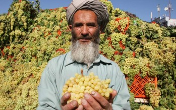Afghanistan's first ever grape festival held in Herat