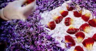 Saffron flower festival held in Herat province