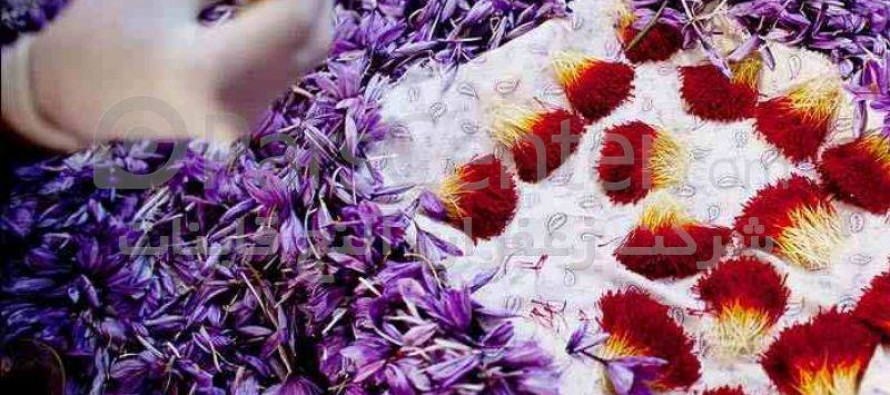 Saffron production up by 17% in Afghanistan