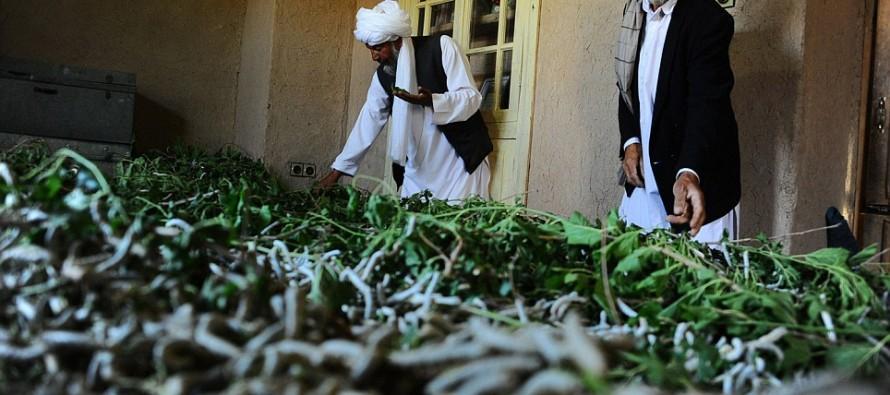 Sericulture reviving in Western Afghanistan