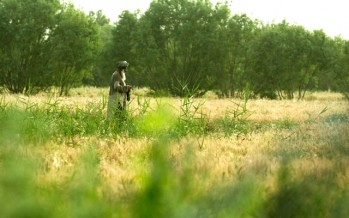 Helmand farmers grow more wheat than poppy