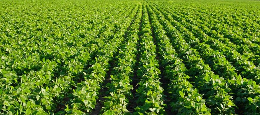 Afghan soybean farmers break a historical record