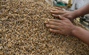 Paktika pine nuts trade in shambles