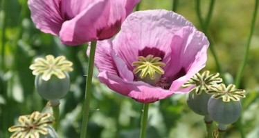 Opium cultivation declines in Afghanistan in 2015