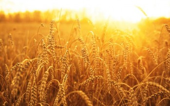 Afghanistan agrees to purchase 600,000 tons of wheat from Kazakhstan