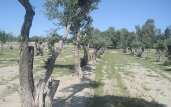 Nangarhar olive production to surpass 1,200 tons this year