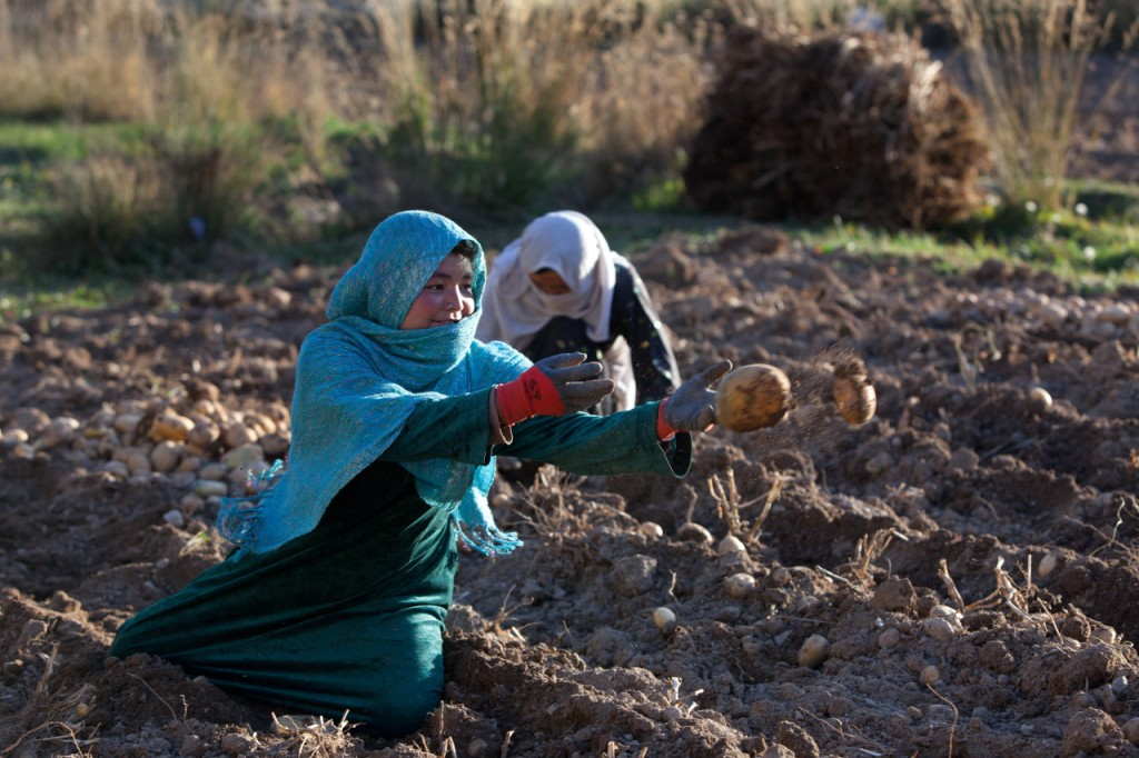 BAMIYAN, AFGHANISTAN - OCTOBER 11:  Afghan women harvest potatoes October 11, 2010 in Bamiyan, Afghanistan. In the central highlands  wheat and potatoes are the main crops, this year many of the farmers said their potato crops were up about 20%. Most families grow enough to feed themselves for seven months of the year but still are dependent on a high carbo-diet of mostly bread and potatoes which leads to malnutrition. (Photo by Paula Bronstein /Getty Images)