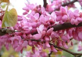 cercis flower