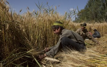 Price of wheat jumps up in Jawzjan due to a decline in yield