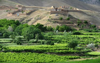 Unwanted Rain- A nuisance for grapes in Ghazni