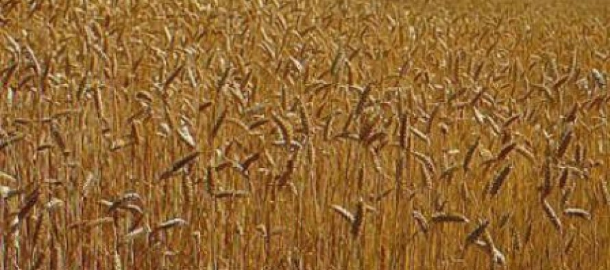 Ghazni Wheat Yield hit by Water Scarcity