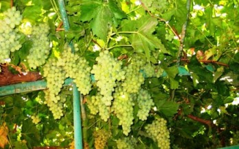 Inauguration of grapes exhibition in Herat