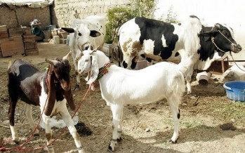 Bribes to customs officials cause prices of sacrificial animals to skyrocket-Afghan merchants