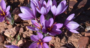 Afghan women's income improves with increase in saffron yield