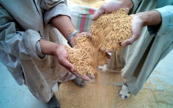 Increase in Kunduz rice yield