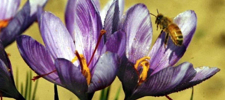 Agriculture Ministry touts the success of saffron in Nangarhar