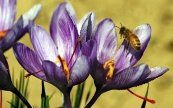 Ghazni farmers happy about their saffron yield