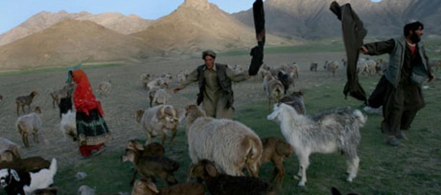 Hidden casualties of Afghan war: nomadic farmers adopt more settled life
