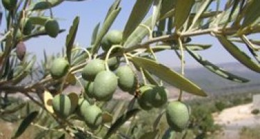 Afghan Olive Farms Waiting for Water