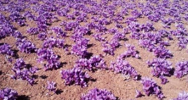 Afghanistan's Saffron Export Increases 14%