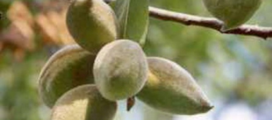 Almond Production Up By 12.5% In Kunduz Province