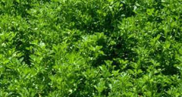 Demand for alfalfa grows in Bamiyan