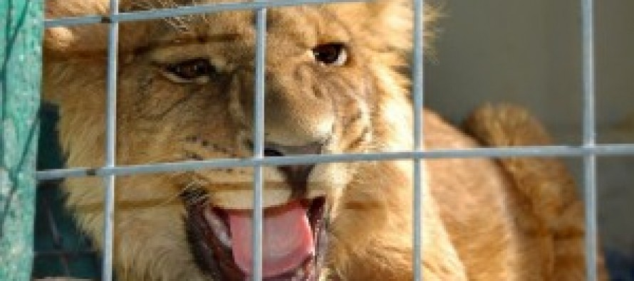 Afghan businessman keeps a USD 20,000 lion as a pet