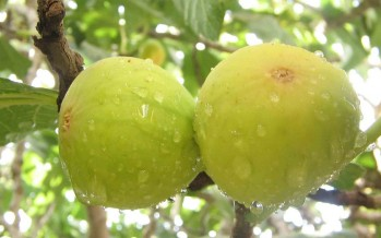 Fig production in Kandahar has increased