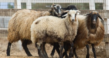 Karakul sheep increase in number in Jawzjan province