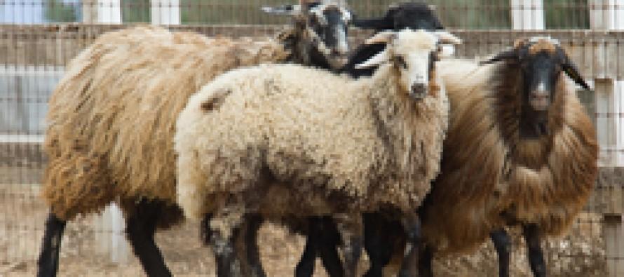 Karakul sheep increase in number in Jawzjan province